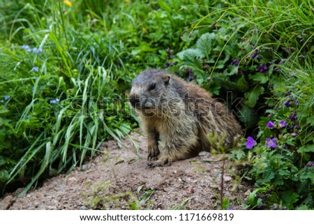 A alert and vigilant groundhog or marmot is curiously inspecting the hiking humans from the entrance of its lair in the earth of the Bavarian Alps in Germany