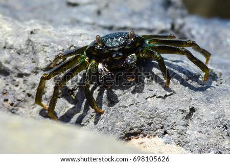 A ama  Hawaiian Black Crab