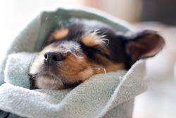 A an adorable puppy all wrapped up in a blanket.