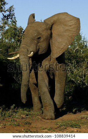 A angry young elephant bull comes out the bushes and charges in addo elephant national park,eastern cape,south africa