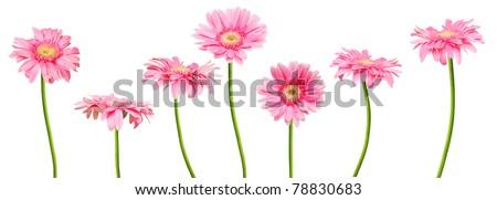 A asia pink gerber daisies