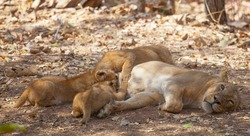 A asiatic lioness taking care of her 3 new born cubs in gir forest area at gir national park junagadh