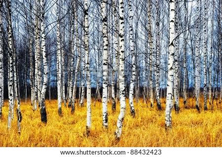 A autumn birch grove among orange grass