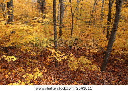A autumn forest in full fall color.