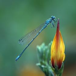 A Azure Damselfly (Coenagrion Puella) on a beautiful flower