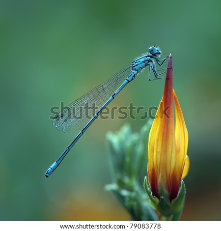 A Azure Damselfly (Coenagrion Puella) on a beautiful flower