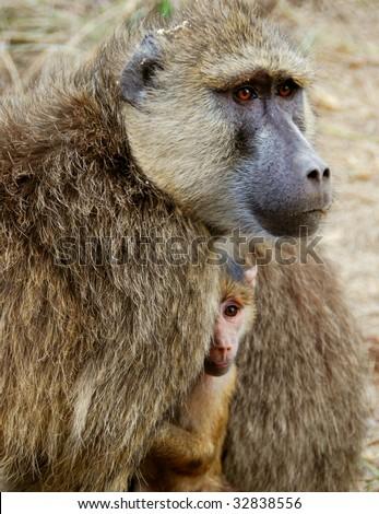 A baboon mother and kid at Masai Mara, Kenya