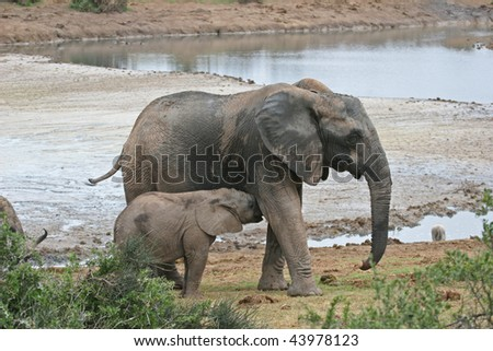 a baby African elephant grabbing a meal from it's mother in the Addo Elephant national park, South Africa