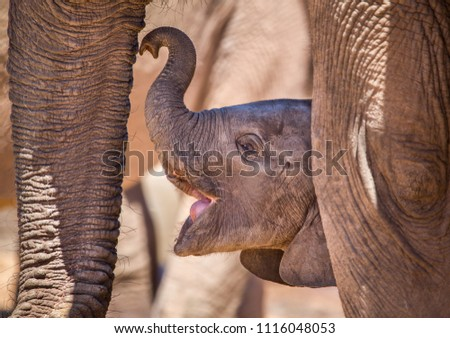 A baby African elephant teaching up to its mother to nurse, his mouth already open in anticipation of getting milk. Addo Elephant National Park, South Africa Stock photo ©