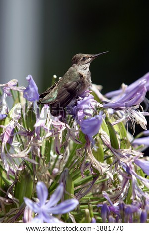 stock-photo-a-baby-anna-s-hummingbird-calypte-anna-hides-in-purple-flowers-waiting-for-its-mother-to-feed-it-3881770.jpg