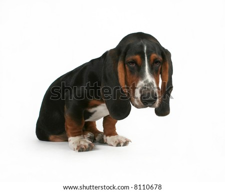 a baby basset hound beagle mix puppy
