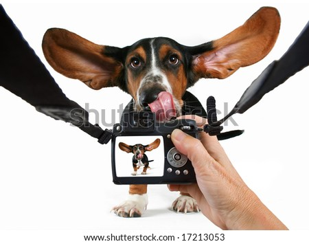 a baby basset hound getting his photo taken