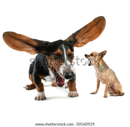 a baby basset hound yawning with big ears and a chihuahua - stock photo