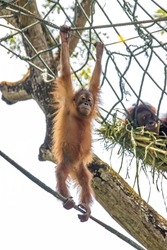 a baby Bornean orangutan is hanging on rope The orangutan is a critically endangered species, with deforestation, palm oil plantations, and hunting posing a serious threat to its continued existence