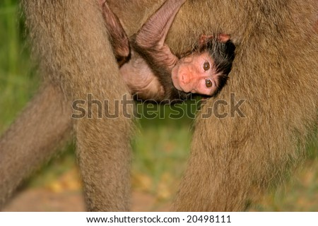 A baby Chacma baboon (Papio hamadryas) hanging onto his mother, Kruger National Park, South Africa