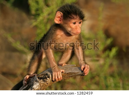 A baby Chacma baboon (Papio hamadryas), playing, Kruger National Park, South Africa - stock photo