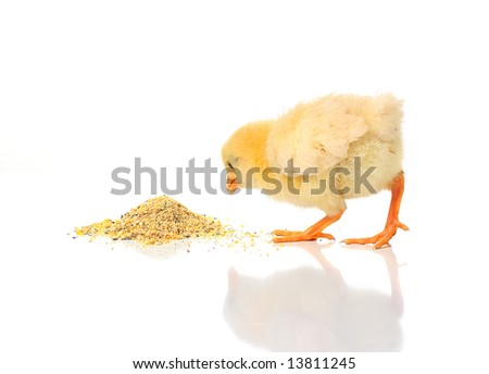 A baby chick over a white background