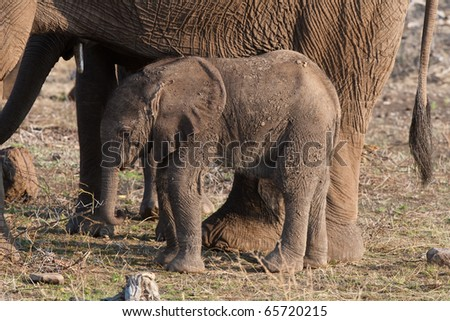 A baby elephant calf next to its mother