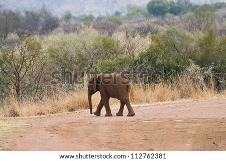A baby Elephant crosses the road as it walks towards its mother in Pilanesberg National Park, South Africa.