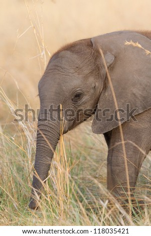A baby elephant feeding on tall, dry grass