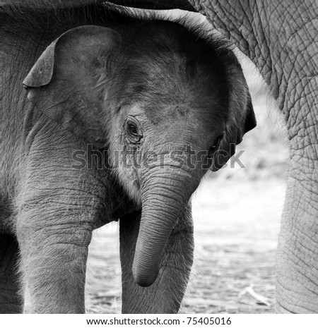 A baby elephant is hiding under its mother body
