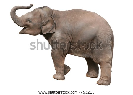 A baby elephant, isolated with clipping path.