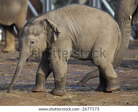 A baby elephant playing in the mud