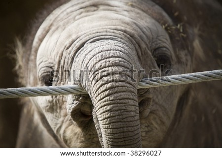 A baby elephant with his trunk hanging over a wire.
