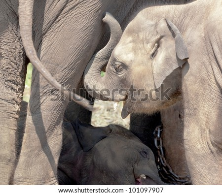 A baby elephants  - Royal Chitwan National Park in Nepal - stock photo
