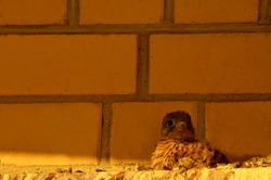 A baby Falcon on the roof of the house in the evening. Kestrel chick. Alone, defenseless, small.