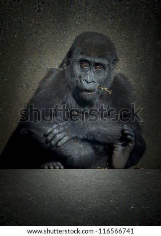 A baby female gorilla sitting on concrete low key