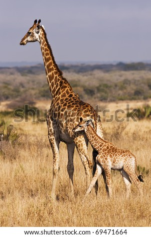 A baby giraffe calf with its mother; looking closely, there are two cowbirds on the back of mama doing some cleaning. The giraffe (giraffa camelopardalis) is the tallest land animal.