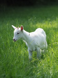 A baby goat kid stands in long summer grass.