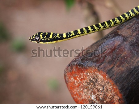 A baby golden tree snake