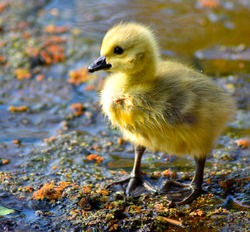a baby goose/gosling with bright colours and stood on a little puddle in between rocks