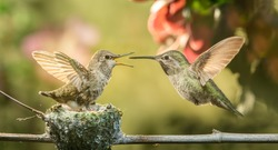 A baby hummingbird opening mouth for food from mother