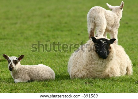 A baby lamb standing on its mothers back in a field in spring, , with its twin sitting nearby.