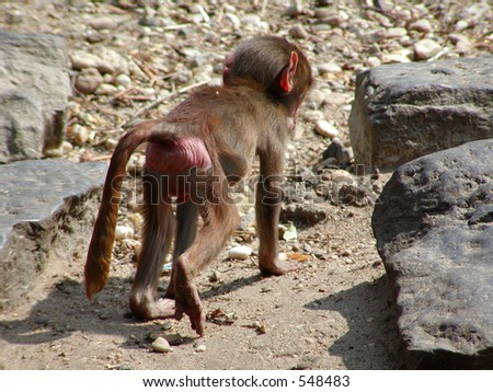 A baby-monkey showing his hind-works. - stock photo