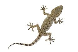 A baby Moorish gecko, also called the wall gecko (