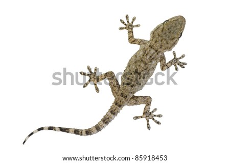"A baby Moorish gecko, also called the wall gecko (""Tarentola mauritanica"") isolated on white. - stock photo"