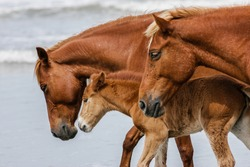 A baby Outer Banks mustang foal walks the ocean shoreline in close-up profile between two adult mustangs.Nice surf behind them; a lazy domestic scene.