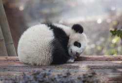 A baby panda lies sleeping