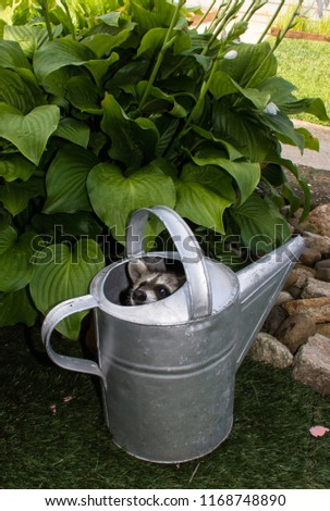 A baby raccoon hiding in a silver vintage watering can peeking out with his head barely visible. The picture is taken outside on a sunny day with a hosta in the background.