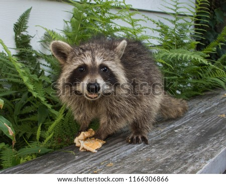 A baby raccoon standing on a weathered gray painted bench, enjoying a peanut butter sandwich. The picture is taken outdoors with green ferns in the background.