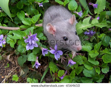 a baby rat in violets