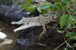 A baby Saltwater crocodile (Crocodylus porosus) at the water's edge