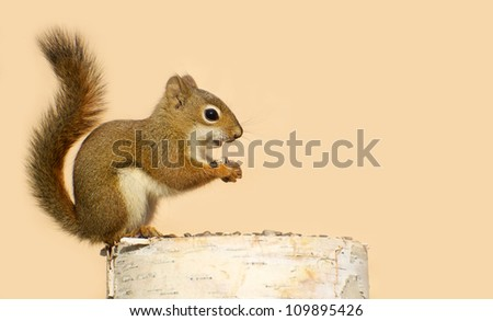 A baby squirrel on a birch log enjoying some sunflower seeds in the fall with copy space.