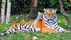 A baby tiger hugs his mom