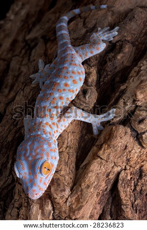 A baby tokay gecko is climbing down a tree.