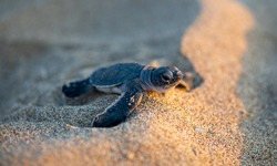 A baby turtle, just hatched, moving towards the sea at Lara Beach, Cyprus